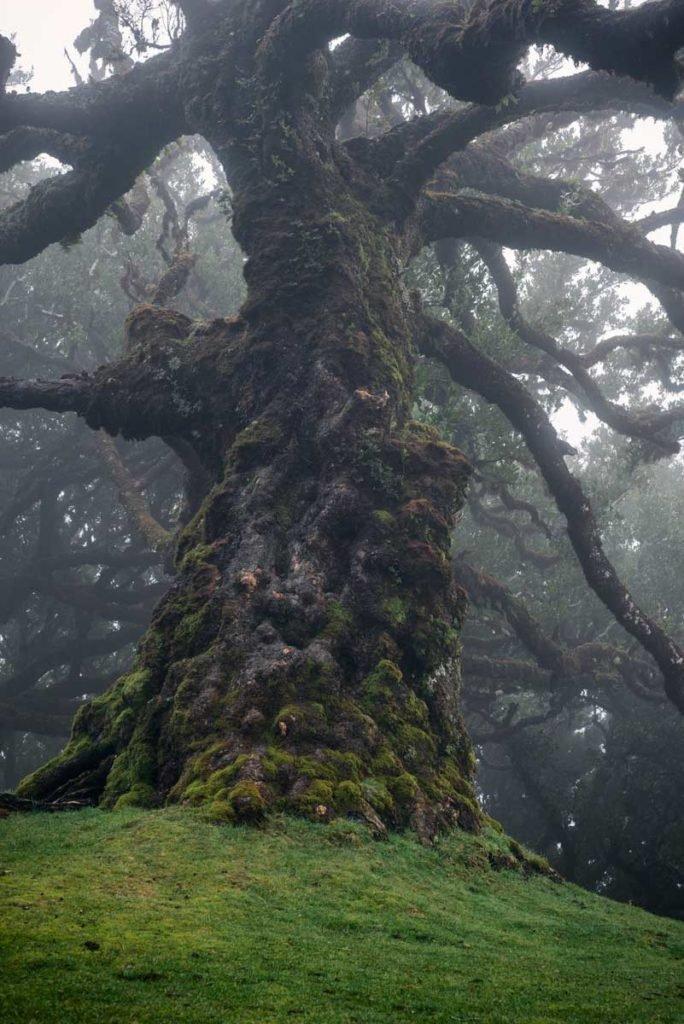 Old laurel tree
